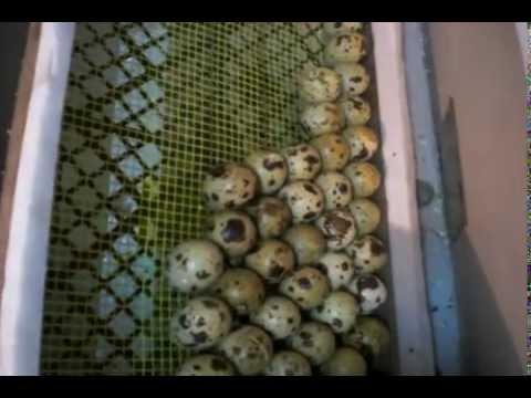 № 2 Закладка яиц в инкубатор. The laying of eggs in the incubator
