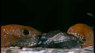 Kannibalismus bei Nacktschnecken / Cannibalistic slugs