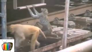 Watch Hero Monkey Revives Electrocuted Friend At Train Station in India