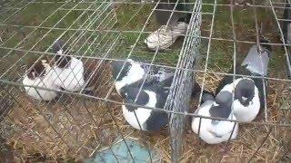 Голуби мясной породы.Pigeons meat breed.