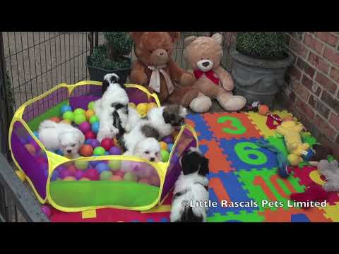 Malshi Puppies for sale at www.littlerascalspuppies.com