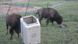 Repeat youtube video Baby bison playing