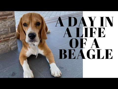 A Day In The Life of Brandon Boy The Beagle