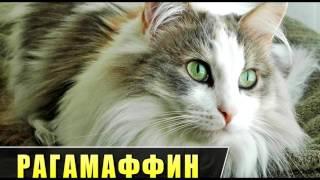 Порода кошек. Рагамаффин. Очень редкая и дружелюбная кошка