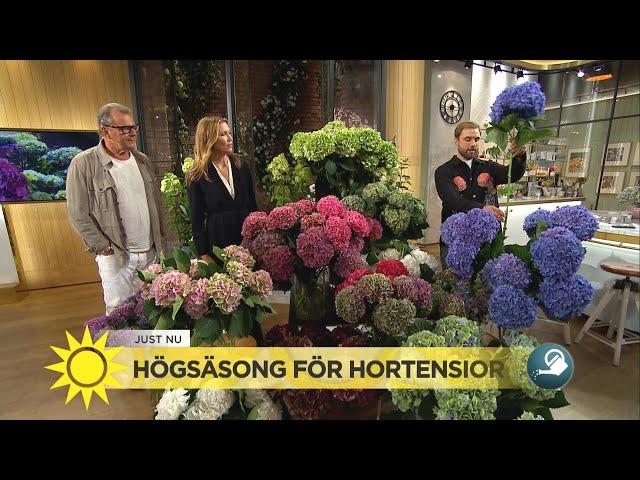 Högsäsong för hortensior – Mycket blomma för pengarna - Nyhetsmorgon (TV4)