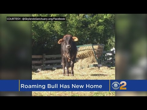 Bull's New Name New Home
