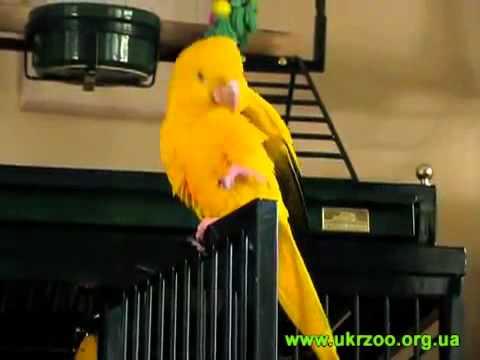 Golden Parakeet - Aratinga guarouba - Золотая аратинга