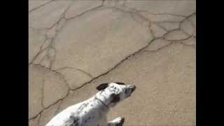 Dalmatian Breed Description Video