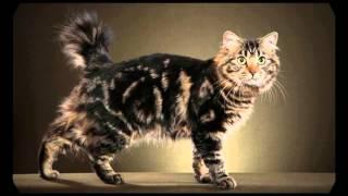 American Bobtail Cats! Amazing Video