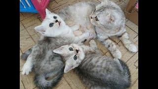 МЯУКАНЬЕ! КОШКА И КОТЯТА СКОТТИШ ФОЛД & СТРАЙТ 😻 Scottish Fold & Straight Cats Kittens