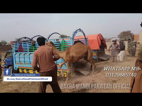 EXCLUSIVE ANGRY Camel Loading Video - Loading of Camel - Runaway Camel at Camel Market  2nd Feb 2018