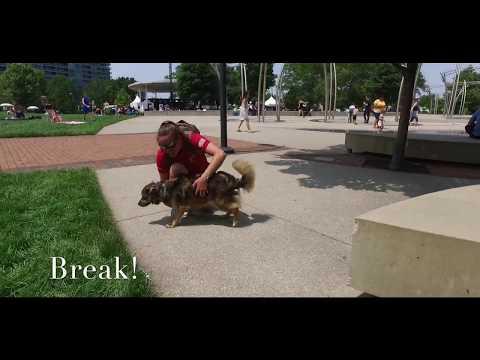 Best Dog Training in Columbus, Ohio! 1.5 Year Old Australian Shepherd Mix, Charlie!