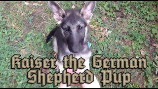 My German Shepherd Puppy Named Kaiser