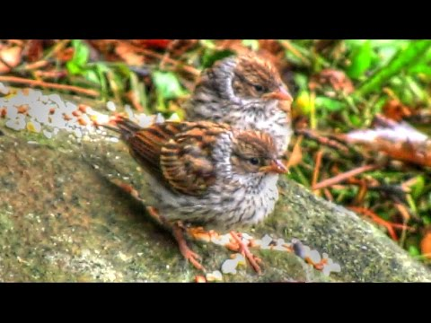Chipping Sparrow Babies Leave The Nest - YouTube