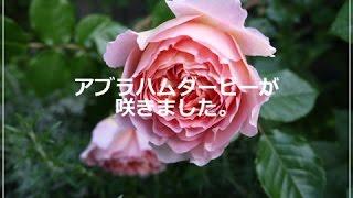アブラハムダービーが咲きました。(2015年5月3日)