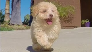 'keara', Our Adorable Cavapoo Puppy For Sale In San Diego, Ca