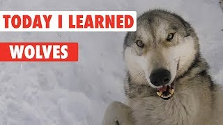 Today I Learned: Wolves Mp3