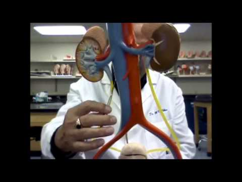 how to make a working model of the urinary system