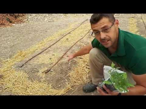 Como y cuando plantar tomates truco de la canela mi huerto - Cuando plantar tomates ...