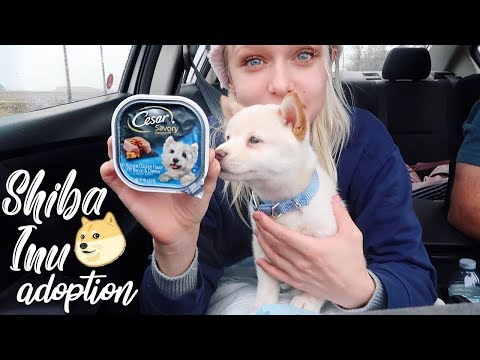 adopting 'Biscuit' the Shiba Inu pup 🐕