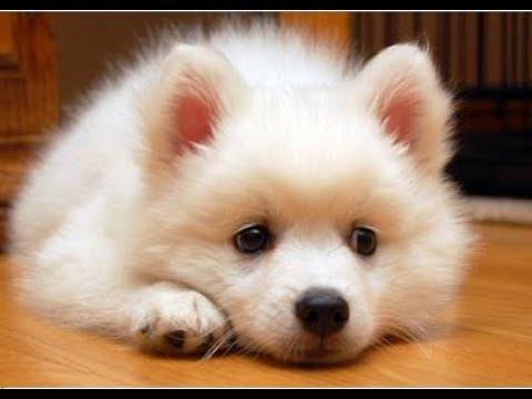 Funny puppy - Japanese Spitz   Yori