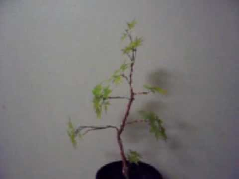 Coral Bark Japanese Maple Bonsai Starter Part 2 Youtube