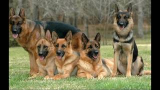 топ 5 самые умные породы собак ( ФОТО)