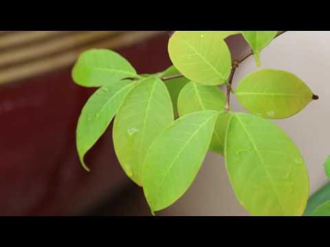 ต้นโมกราชินี