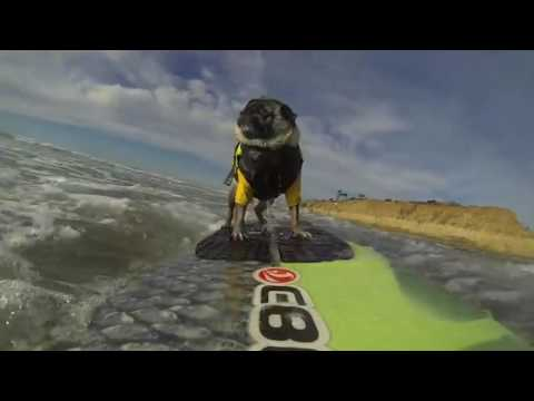 AFV Goes Pro Brandy The Surfing Pug YouTube - Brandy the award winning surfing pug