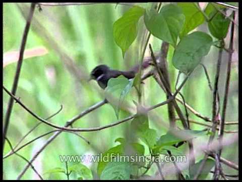 White-throated Fantail Flycatcher in Assam