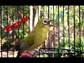 Terapi Pleci Dakun Bali Agar Cepat Bunyi  Mp3 - Mp4 Download