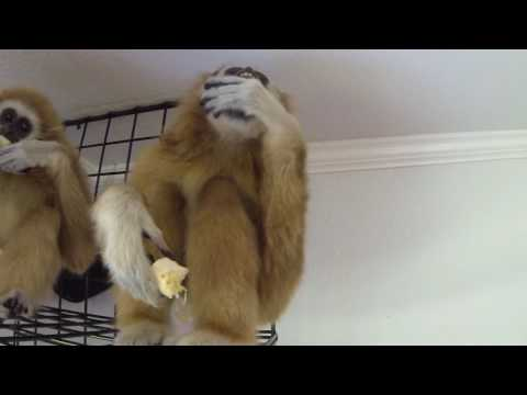 Additional Footage from 'Gibbon 'Em A Home' - Scaly Adventures Episode #35