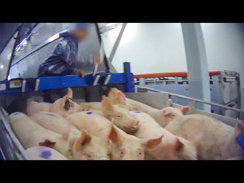 Undercover: varkens mishandeld bij Nederlands slachthuis
