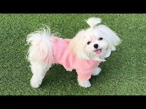 Cutest Maltese Puppies Video Compilation #2