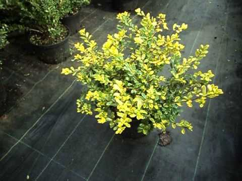 Ilex Crenata Golden Gem Youtube