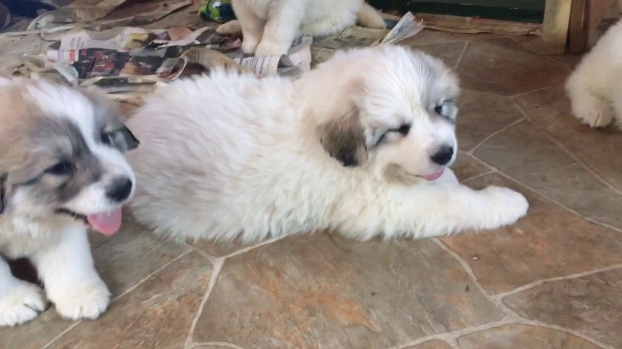 Great Pyrenees Puppies 42 Days Old And Growing Up So Fast Youtube