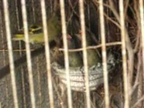 Cria de cabecita negra en cautiverio youtube for Cria de peces en cautiverio