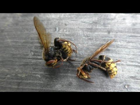 Так пчелы убивают шершня