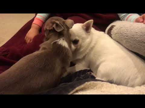Sweet little chihuahua booping the grump out of the grumpiest chihuahua-in the name of Chi-sus!