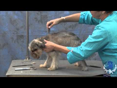 Grooming a Pet Brussels Griffon with Judy Hudson, NCMG