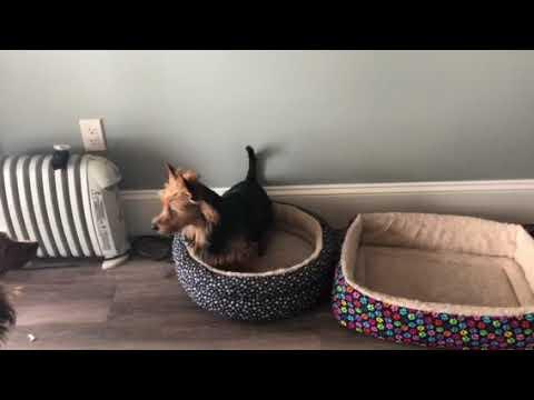 Tidewalker Australian Terriers