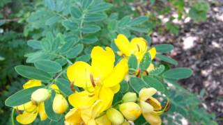 Cassia bicapsularis - Senna bicapsularis - Yellow Candlewood - Rambling Senna HD 03