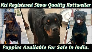 Kci Registered Show Quality Rottweiler Puppies Available For Sale In India.