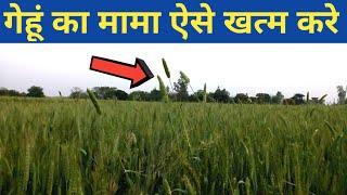 गेहूं की खेती में गुली डंडा ऐसे खत्म करे|Wheat Phalaris Weeds Organic Control Waste Decomposer