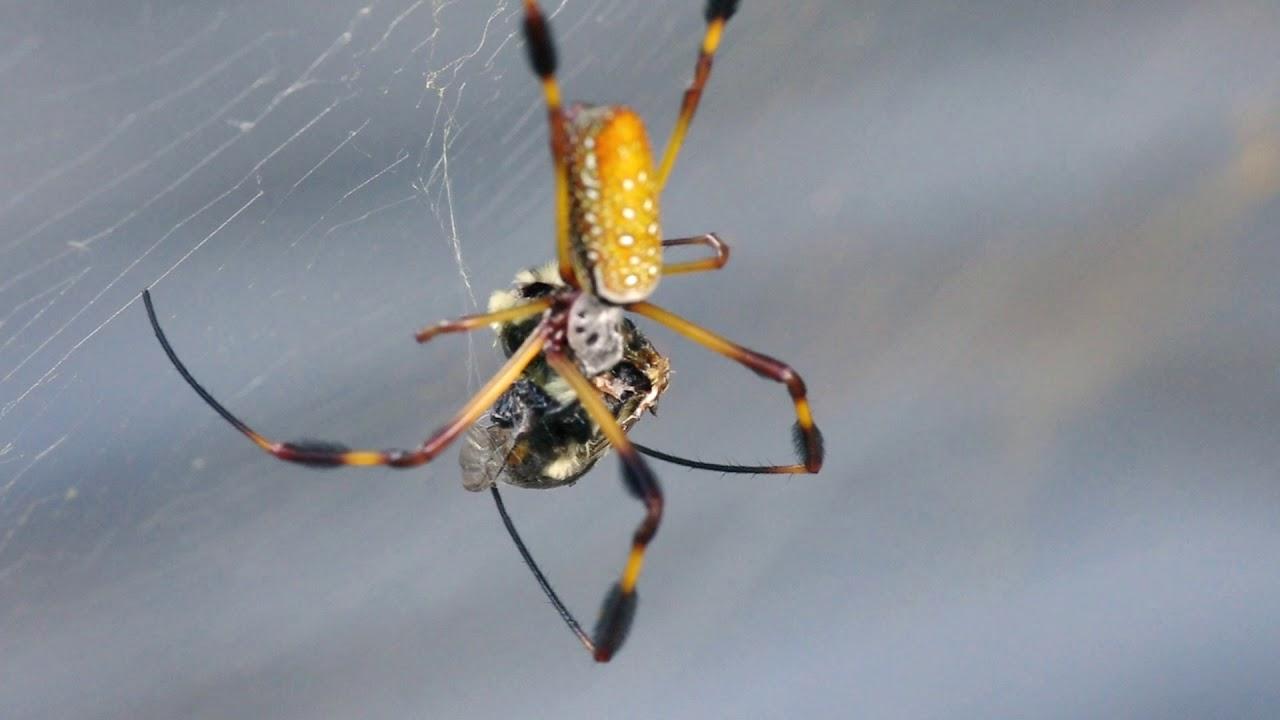 Golden Silk Orb-Weaver...