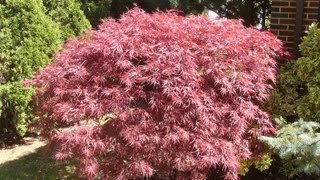 """How to grow Japanese Maple"" Gardening 101 by Dr. Greenthumb"