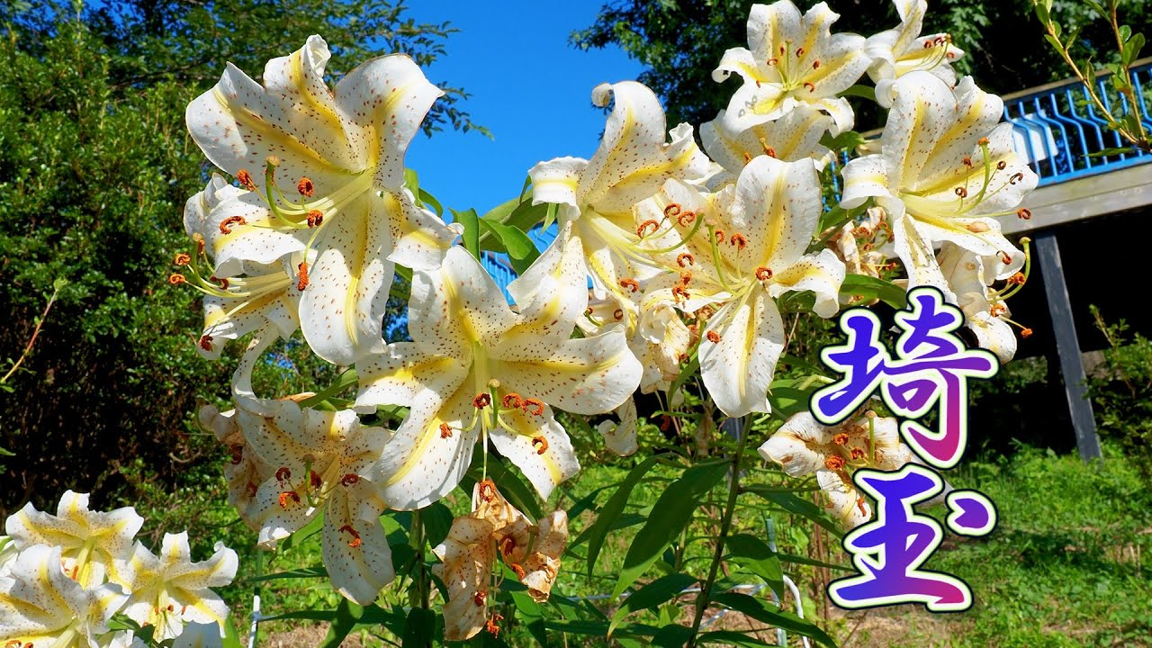 Garden species and Wild species of Lilies, both are in full bloom at the suburbs Tokyo.#4K  #深谷ゆり