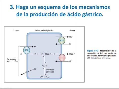 FISIOLOGÍA (Laboratorio) - Práctica 13 - FISIOLOGÍA DIGESTIVA - USMP ...