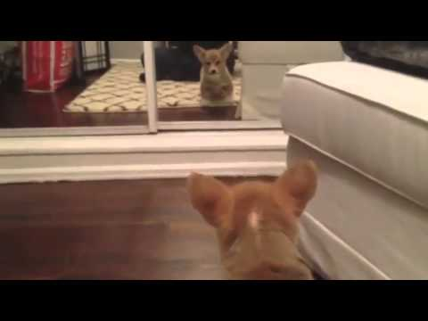 STUPID DOG AFRAID OF HIS OWN REFLECTION