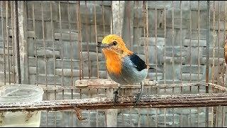Download Mp3 Suara Panggilan Kemade Asli Mampu Merangsang Bunyi Burung Hasil Pikatan